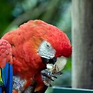 Scarlett Macaw by Mary Broome