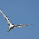 Tern and tern again by Tom Black