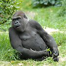 GORILLA by KeepsakesPhotography Michael Rowley