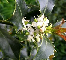 Holly Blossom by Barry Norton