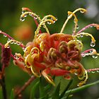"Grevillea ""Superb"". by Bette Devine"