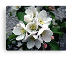 Apple Blossom Cluster Canvas Print