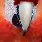 Scarlet Macaw Parrot, Ara macao by Eyal Nahmias