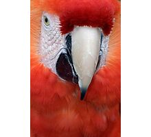Scarlet Macaw Parrot, Ara macao Photographic Print