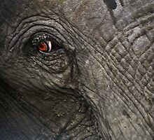 Eye of an African elephant by Bakbal