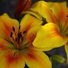 Vibrant Yellow Lilies by Rebecca Silverman