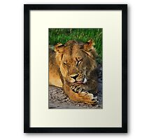 Young male lion resting Framed Print