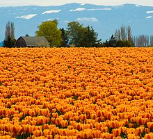 Sea of Tulips by David Chappell