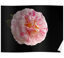 Camellia Poster