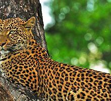 Female leopard by Bakbal