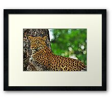 Female leopard Framed Print