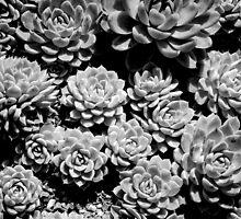 White Cacti by Andrew  Hogan-Higgs