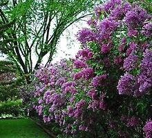 Into the Lilac Forest I go! by Karen Goad
