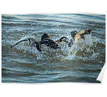 Duelling Ducks Poster
