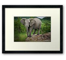 Posing I am (Elephant - loxodonta africana) Framed Print