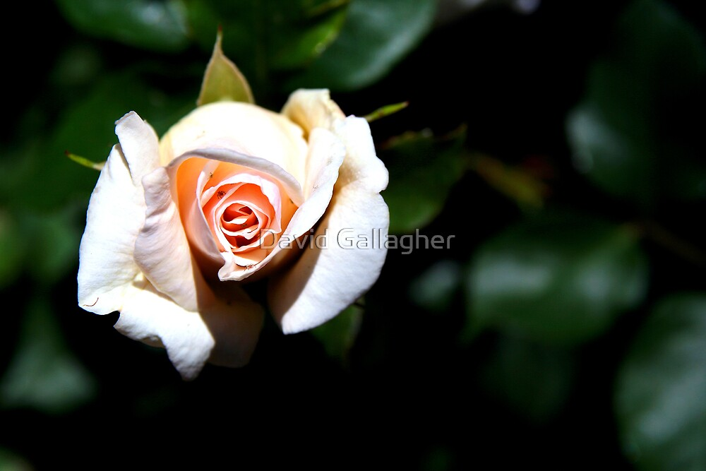 a rose by any other name by David Gallagher