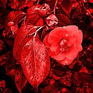 Red Camellia by Zolton