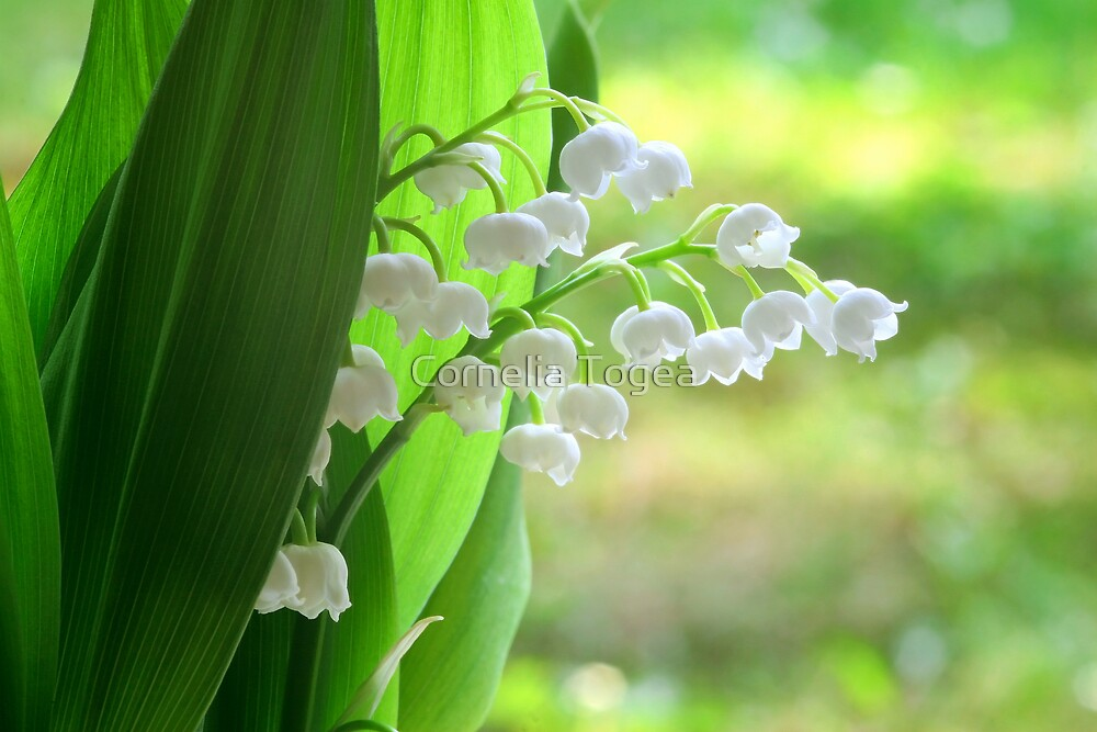 lily of the valley by Cornelia Togea