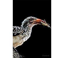 Red-Billed Hornbill (Tockus erythrorhynchus) Photographic Print