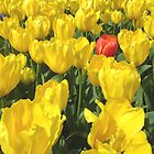 Tulip Bed, Most Yellow, One Red by Peter Clements