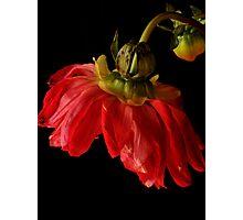 Dahlia ballerina Photographic Print