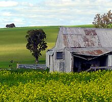 Shed in Canola Field Panoramic, Harden, NSW, Australia by Peter Clements