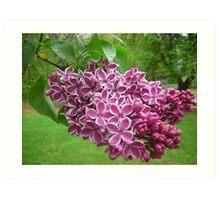 Purple Blooms! Art Print