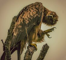 Tawny Eagle (Aquila rapax) by Deborah V Townsend