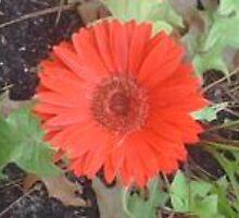 Red Flower In Winter Garden by michaelsimmers