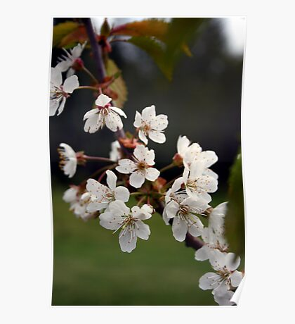 Bing Cherry Blossoms Poster
