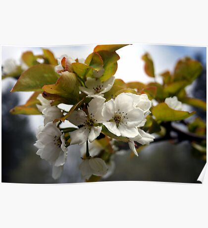 Pear Blossoms Poster