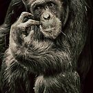 Chimpanzee (common) Pan troglodytes by Deborah V Townsend