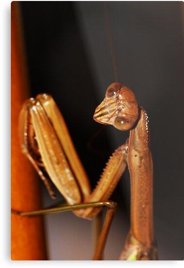 Praying Mantis by Matt Sillence