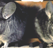 Chinchillas on the Piano Sticker
