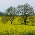 Fields of Gold by shaz
