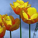 Yellow tulips by julie08
