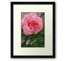 Hope for a new day!  Refreshed in pink!  Rose gets a drink in the dew! Hope in pink!   La Mirada, CA Framed Print