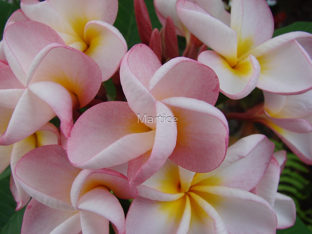 Pink Fragapani Bunch by Martice
