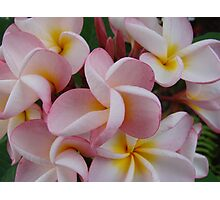Pink Fragapani Bunch Photographic Print
