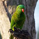 Lorikeet by sarah ward