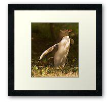 The rare yellow eyed penguin Framed Print