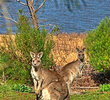 Burrinjuck Kangaroos by GailD