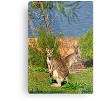 Burrinjuck Kangaroos Metal Print