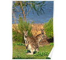 Burrinjuck Kangaroos Poster
