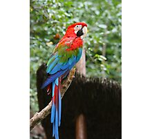 red and green macaw parrot Photographic Print