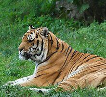 Tiger by Jan Prchal