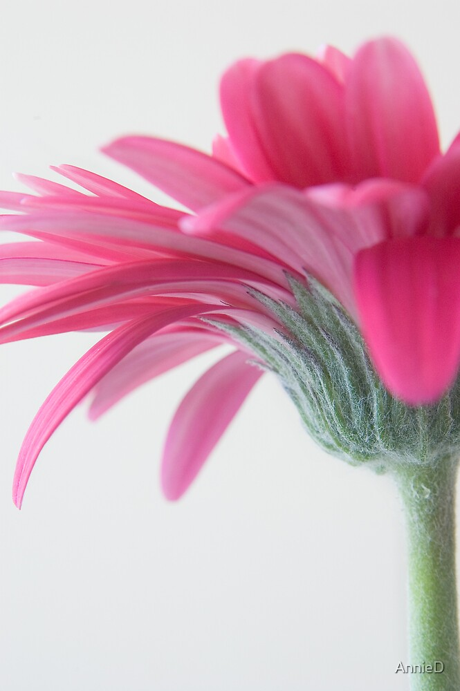 Pink Gerbera by AnnieD