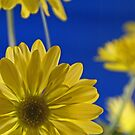 Daisy on Blue by Lisa Miller
