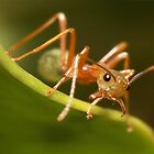 Green Tree Ant - Ayr, QLD by Darren Post