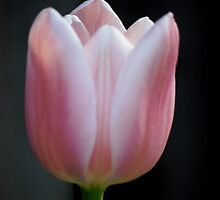 Tulip and spring 2013 by loiteke